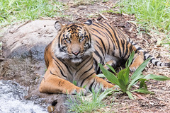 Suka (ToddLahman) Tags: suka beautiful sandiegozoosafaripark safaripark sumatrantiger escondido eyelock exhibitc tiger tigers tigertrail teddy joanne mammal male outdoors portrait