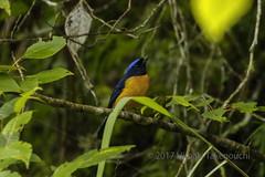 Niltava sundara (Hiro Takenouchi) Tags: passerine india arunachal eaglenest wildlife wild bird