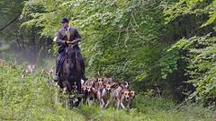Vénerie (Phil du Valois) Tags: vénerie forêt domaniale compiègne chasse chien meute veneur huntsman