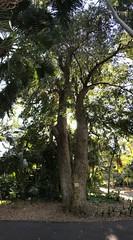 Syzygium floribundum (Waterhousea floribunda) - Weeping Lilly Pilly, Weeping Satinash (Black Diamond Images) Tags: syzygium waterhousea syzygiumfloribundum waterhouseafloribunda myrtaceae arfp nswrfp qrfp subtropicalarf rbgsarfp rbgs royalbotanicgardenssydney australiasbiggesttrees sydneybotanicgardens australianrainforest gianttrees bigtrees tree forest trunk wood weepinglillypilly weepingsatinash galleryarf iphone appleiphone7plus iphone7plus verticalpanorama panorama appleiphone7pluspanorama iphone7pluspanorama iphonepanorama