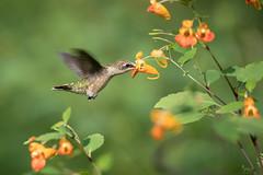 Ruby Throated Hummingbird (NicoleW0000) Tags: rubythroatedhummingbird birdinflight hummingbirds birdwatching nature wildlife photography jewelweed wildflowers ontario