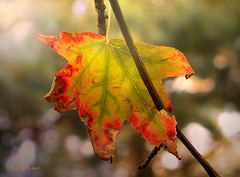 Autumn Leaf's Study ... (MargoLuc) Tags: autumn colourful leaf green yellow red brown translucent natural light tree bokeh sunlight sunny day backlight new season outdoor