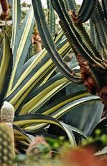 LBG Sept 2017 - 43 (Lostash) Tags: nature life plants flora cactus cacti succulents leicesterbotanicalgardens