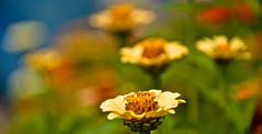 SUMMER COLOUR 2 (chris .p) Tags: herefordshire nikon d610 gardens colour summer 2017 capture nt nationaltrust plants september