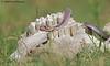 Indian Cobra (Naja naja) (Dr. Nishith Kumar Photography) Tags: najanaja indiancobra cobra snake india lucknow canon60d canon canon400mmf56 canon400mmf56lusm drnishithkumarphotography drnishith drnishithkumar nishith nationalgeographic nationalgeographicworldwide nationalgeography animalplanet aperture action actionshot bokeh 60d