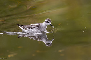 Red-necked Phalarope at pond of Ambleside Park