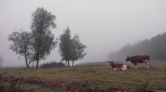Holy cows (Jorden Esser) Tags: holyweg otherkeywords vlaardingen cows dawn landscape trees