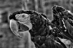 Papagei (efgepe) Tags: 2017 france frankreich september papagei bw sw schwarzweiss blackwhite silverefexpro lightroom nik vogel bird