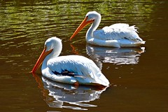 American White Pelican (rustyruth1959) Tags: nikon nikond3200 tamron16300mm europe germany lowersaxony walsrode weltvogelpark worldbirdpark bird park pelican americanwhitepelican bill feathers water pond outdoor reflections ripples wings orange white animal lake gettyimages