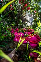 Pink carpet (Rakuli) Tags: ifttt 500px nature sun plants foliage pink flare star botanical greenery afternoon bloom flowering blooming lush azalea flowery leafy