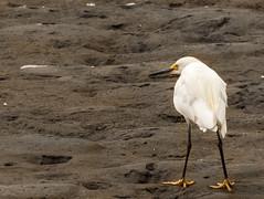 phoca2004-0059.jpg (phoca2004) Tags: bird d90 egret egrettathula nikon presidioofsanfrancisco sanfrancisco snowyegret wader california unitedstates us chrissyfieldmarsh