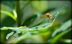 DSC_3064 (DianeBerky19) Tags: nikon d500 70300mm dragonfly flowers flora