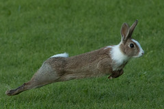 The Bothy Bunny (jillyspoon) Tags: rabbit bunny running leaping escaping stretching canon70d machars wigtownshire countryfile wildlife canon70200 70200mm ef70200 multicolouredrabbit twotonerabbit