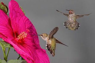 Hibiscus and the Hummingbirds-2283-Edit