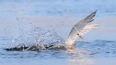 Find the fish! (bmse) Tags: forsters tern fishing splash drops water miss canon 7d2 400mm f56 l bmse salah baazizi wingsinmotion bolsa chica california wetlands