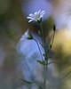 Fireworks (jttoivonen) Tags: nature flower plant flora colors white finland spring creativecommons macro closeup bokeh