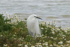 DSC03486 (simonbalk523) Tags: photography sony tamron wildlife nature rutland reservoir lakes birds little egret