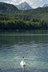 Alpsee (LG_92) Tags: neuschwanstein germany deutschland nikon dslr d3100 2017 summer august bayern lake alpsee swan bird