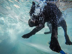 31/52 Nemo (- Una -) Tags: 52weeksfordogs nemo curly curlycoatedretriever ccr retriever curlydog dog animal blackdog blackcurlycoatedretriever