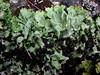 Lobaria amplisima (davidgenneygroups) Tags: uk scotland lichen lobariaamplissima lobaria amplissima lobarion foliose corticolous oceanic