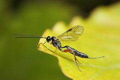 Ichneumon wasp #1 (Lord V) Tags: macro bug insect wasp ichneumon