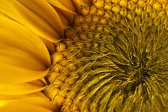 inside the sun (Blende1.8) Tags: summer sommer sunflower sonnenblume macro makro closeup nahaufnahme flower blossom blüte nature natur gelb yellow sony ilce6300 a6300 alpha6300 sel90m28g 90mm carstenheyer garten garden detail details