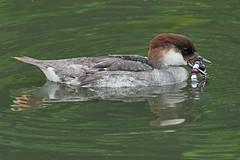 smew (Explore) (DODO 1959) Tags: wildlife wales nature avian birds waterfowl smew female wwt llanelli carmarthenshire olympus omdem1mk2 300mmf4 micro43 fauna outdoor animal