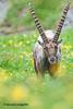 A17_6461 (Riccardo Cacioppolini) Tags: 2017introd stambecco vacanze viaggivacanze animali mammiferi soggetto valsavarenche aosta italia