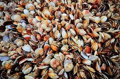 Sea shells (jaume vaello) Tags: nikon nikond5100 sigma1020 normandia francia jaumevaello conchas shells