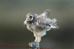 short eared owl (simonrowlands) Tags: shortearedowl heathlandbird bird asioflammeus
