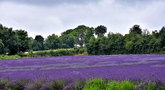 Purple haze. (pstone646) Tags: lavender field nature flora kent view landscape purple colour trees flowers