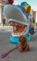 Sicily Sees a Shark (tquist24) Tags: cavapoo michigan samsung samsunggalaxys6 sicily stjoseph art cute dog geotagged leash puppy sculpture shark sidewalk sit stay sharknado