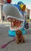 Sicily Sees a Shark (tquist24) Tags: cavapoo michigan samsung samsunggalaxys6 sicily stjoseph art cute dog geotagged leash puppy sculpture shark sidewalk sit stay sharknado