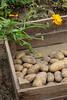 CKuchem-5991 (christine_kuchem) Tags: bauerngarten beet biogarten erde ernte erntekiste erntezeit feld frühkartoffel garten gartenerde gemüse gemüsebeet gemüsegarten glorietta grabgabel herbst holz holzkiste kartoffel kartoffelbeet kartoffelfeld kartoffelkiste kiste naturgarten nutzgarten pflanze privatgarten rarität sorte sortenvielfalt vielfalt alt bio biologisch frisch früh gesund naturnah natürlich reif