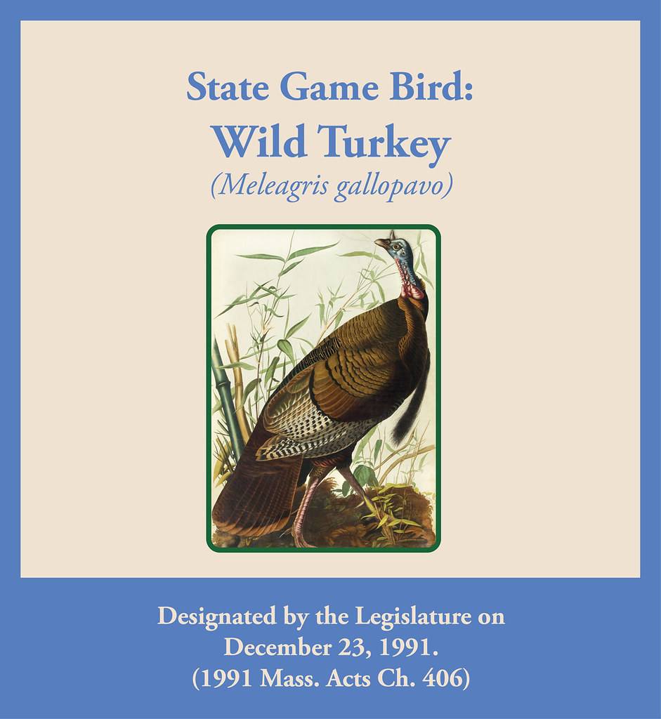 The worlds most recently posted photos of massachusetts and state game bird wild turkey meleagris gallopavo state library of massachusetts buycottarizona