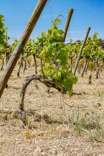 Виноградник на Мальте