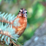 Black-headed Grosbeak thumbnail