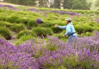 lavender harvest.  throwing bound lavender