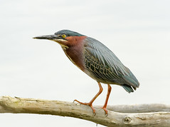 Green Heron (tresed47) Tags: 2017 201705may 20170504extonparkbirds birds canon7d chestercounty content extonpark folder greenheron heron may pennsylvania peterscamera petersphotos places season spring takenby us ngc npc