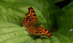 Comma butterfly - Gehakkelde aurelia (joeke pieters) Tags: 1340942 panasonicdmcfz150 gehakkeldeaurelia polygoniacalbum commabutterfly vlinder butterfly schmetterling papillon insect platinumheartaward ngc npc