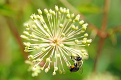 DSC08234 - Busy Bee (archer10 (Dennis) 104M Views) Tags: ovens caves ocean sony a6300 ilce6300 18200mm 1650mm mirrorless free freepicture archer10 dennis jarvis dennisgjarvis dennisjarvis iamcanadian novascotia canada natural park