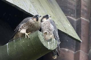 Peregrine falcons - Kirkby