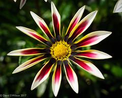Peak Gazinia #2 (David S Wilson - TY For 8M Views!) Tags: 2017 england cambridgeshire olympuspenf leicadgmacroelmarit12845asph adobelightroom6 davidswilson uk fens sooc jpeg gazinia floral daisy garden summer