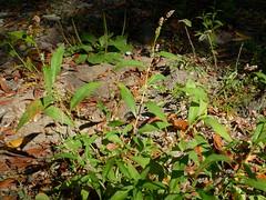 *Persicaria maculosa (Polygonum persicaria). LADY'S THUMB. (openspacer) Tags: jasperridgebiologicalpreserve jbp ladysthumb nonnative persicaria polygonaceae riparian jrbp