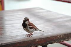 One/Jedan (salaminijo) Tags: bird ptica vrabac vrale nature animal light garden beauty outdoor canon summer august avgust beograd belgrade ser