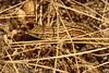 Levendbarende hagedis - Zootoca vivipara (henk.wallays) Tags: aaaa balim belgium europa henkwallays location limburg lommel closeup macro nature natuur wildlife chordata hagedis lacertavivpare lacertidae lacertilia levendbarendehagedis reptilia scincomorpha skinkachtigen squamata zootoca zootocavivipara echse echtehagedissen gewervelden hagedissen lizard lézard reptielen reptile reptiles sauria vertebrata vertebrate