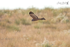 Spotted Harrier hunting (Jennie Stock) Tags: spottedharrier circusassimilis inflight pardoostation