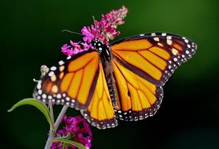 1059e3x  June Monarch