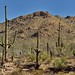 Saguaro Cactus with a Backdrop of the Tucson Mountains