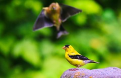 Photo Bomb (robinlamb1) Tags: outdoor nature animal bird finch americangoldfinch goldfinch spinustristis backyard garden aldergrove